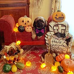 リース/わんちゃんここあちゃん/ジャック・オ・ランタン/かぼちゃの置物/ダイソーさんのひかるガーランドパンプキン...などのインテリア実例 - 2021-09-09 07:22:17
