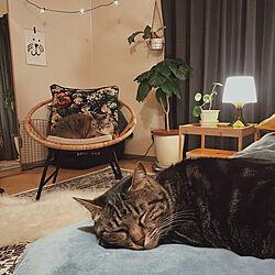 間接照明/1R 一人暮らし/猫とインテリア/観葉植物/猫...などのインテリア実例 - 2019-03-23 20:21:30