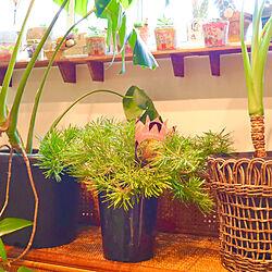 植中毒/窓辺のグリーン/バンクシア/おうち時間を楽しむ/植物のある暮らし...などのインテリア実例 - 2021-05-16 10:25:56