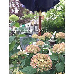 ベッド周り/芝生の庭から草花木果の庭へ/ピンクアナベル/アナベルのインテリア実例 - 2017-05-25 09:16:09