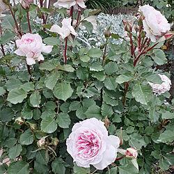 部屋全体/バラのある庭/バラアーチ/薔薇のある暮らし/バラのアーチ...などのインテリア実例 - 2021-05-10 19:58:57