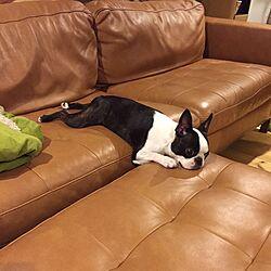 NORDICO/ボストンテリア/犬のいる暮らし/リビングのインテリア実例 - 2016-05-10 18:56:10