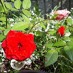 部屋全体/薔薇/お庭のお花♡/しょくぶつのある暮らし/駐車場からお庭へ‥…...などのインテリア実例 - 2020-10-26 18:56:57
