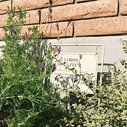 シルバープリペット/レースラベンダー/花のある暮らし/植物のある暮らし/机のインテリア実例 - 2020-10-20 10:07:05