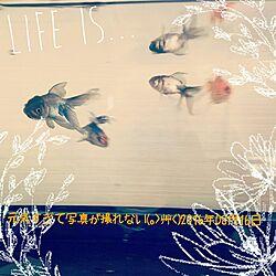リビング/青文魚/キャリコ/金魚水槽のインテリア実例 - 2016-08-16 12:30:31