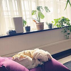 ミックス犬/リビングの出窓/柴犬がいる家/いぬと暮らす/多頭飼いの家...などのインテリア実例 - 2021-09-23 12:59:17