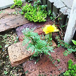 玄関/入り口/マリーゴールド/ナチュラル/ガーデン/セダム...などのインテリア実例 - 2015-08-17 18:27:45