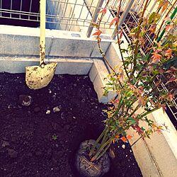玄関/入り口/植物/イロハモミジ/庭木/スコップ...などのインテリア実例 - 2014-11-23 21:52:19