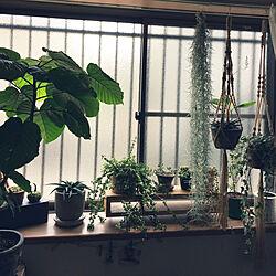 リビング/出窓/観葉植物/DIY/多肉植物...などのインテリア実例 - 2017-10-24 11:28:13