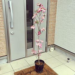 GW中に植えます!/お庭のシンボルツリーに/ニトリの玄関マット/ガーデニング大好き/ガーデニング...などのインテリア実例 - 2019-04-26 10:11:48