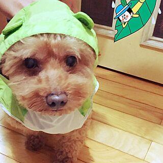 実家/お部屋じゃなくてごめんなさい。/トイプードル♡/雨の日の散歩はキライ、、。/雨...などのインテリア実例 - 2015-09-09 11:45:37