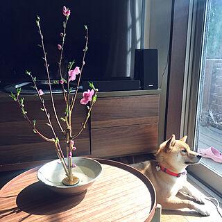 リビング/ぐり/柴犬/お花のインテリア実例 - 2018-02-24 10:45:18
