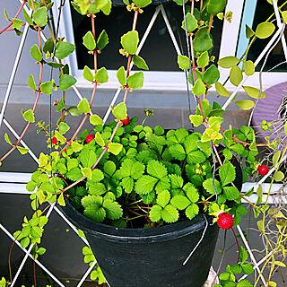 女性3LDK、観葉植物に関するKikuさんの実例写真