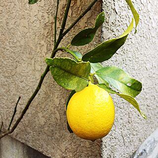 玄関/入り口/柑橘類/ひなたぼっこ/ガーデニング/レモンのインテリア実例 - 2017-01-03 01:11:42