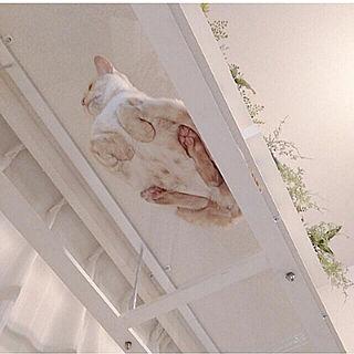 壁/天井/ペットと暮らすインテリア/●うちのHARU●/キャットウォーク/透明キャットウォーク...などのインテリア実例 - 2021-05-03 10:38:18