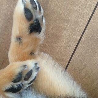 ちわわん/床で寝てたところぱしゃり/愛犬/肉球のインテリア実例 - 2013-07-22 19:27:17