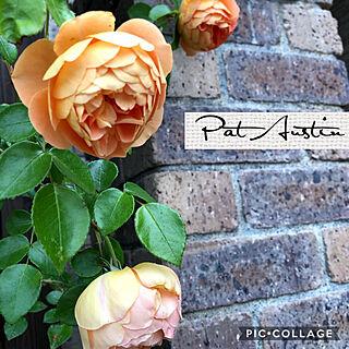 イングリッシュローズ パットオースチン/薔薇/バラ/花は癒し/好きなものに囲まれて暮らす...などのインテリア実例 - 2019-05-22 13:49:21
