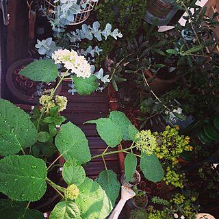 玄関/入り口/べらんだGarden。/ガーデン雑貨/植物/ベランダガーデン...などのインテリア実例 - 2014-06-01 07:54:51