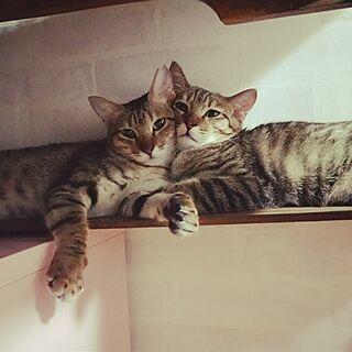 ベッド周り/猫/ねこ部/ねこのいる日常/ねこと暮らす。...などのインテリア実例 - 2016-09-15 21:19:39