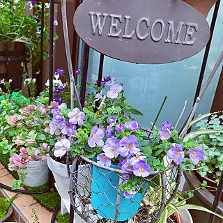 花バコパ/今綺麗に咲いてるので/花ばかりでごめんなさい/玄関の前花たち元気だよー/いいね、嬉しいです。...などのインテリア実例 - 2019-04-12 06:48:39