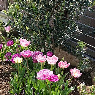 玄関/入り口/家の中でできる事/植物のある暮らし/チューリップ/花のある暮らし...などのインテリア実例 - 2020-04-15 11:15:50