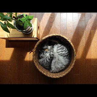 洗濯かご/古道具/和/パキラ/猫...などのインテリア実例 - 2015-04-18 13:04:42