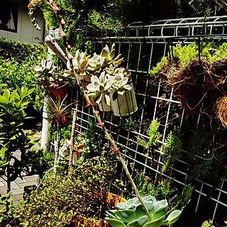 玄関/入り口/観葉植物/DIY/リメ缶/多肉植物...などのインテリア実例 - 2016-06-21 12:25:23