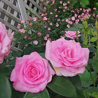 玄関/入り口/ビバリー/バラ/薔薇/ばら...などのインテリア実例 - 2020-05-24 10:39:19