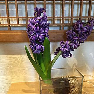 、ヒヤシンス水耕栽培に関するy.yoshimi4437さんの実例写真