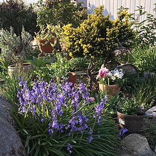 女性家族暮らし、シラーの花に関するniconさんの実例写真