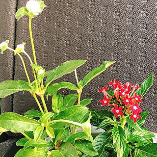 ありがとうございます♡/ささやかなプレゼント/ペンタス/センニチコウ/お花が好き...などのインテリア実例 - 2020-05-29 09:07:13