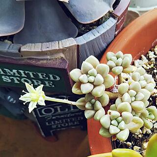 玄関/入り口/多肉植物/ポルックス/銘月/多肉植物の花...などのインテリア実例 - 2019-05-31 11:28:38