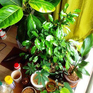 植物/観葉植物/フィカスアルテシマ/シェフレラ/ベンジャミン/モンステラ...などのインテリア実例 - 2014-08-21 13:10:00
