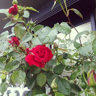 玄関/入り口/薔薇/ばら/rose/近所の花のインテリア実例 - 2017-05-09 15:07:49