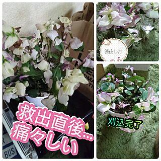 女性44歳の家族暮らし2DK、植物手入れ。に関するkotorinさんの実例写真