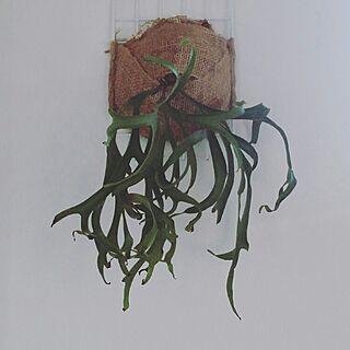 壁/天井/植物/コロナリウム フィリピン/コウモリラン/ビカクシダ・コロナリウムのインテリア実例 - 2016-06-02 17:45:59