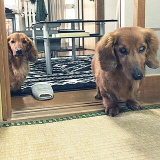 うちの子/Dog/リビングのインテリア実例 - 2015-05-24 01:08:56