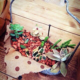 玄関/入り口/多肉部♡/セリア 多肉植物のインテリア実例 - 2013-12-16 13:12:41