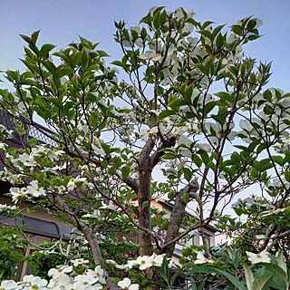 玄関/入り口/庭/花/築48年/植物のある暮らし...などのインテリア実例 - 2021-04-24 19:48:36