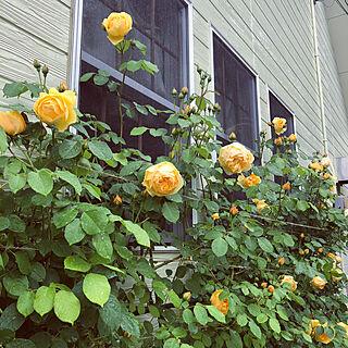 玄関/入り口/5月のワクワク感/庭の記録写真/日々の暮らし/薔薇のある暮らし...などのインテリア実例 - 2018-05-08 23:26:19