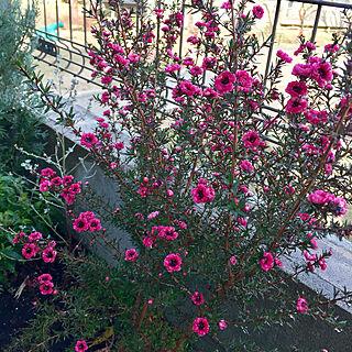 女性33歳の家族暮らし3LDK、この花の名前は?!に関するmimiさんの実例写真