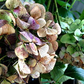 女性家族暮らし3LDK、秋色紫陽花に関するchiekoさんの実例写真