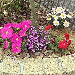 玄関/入り口/花壇/マーガレット/ペチュニア/お花のある暮らし...などのインテリア実例 - 2017-05-09 17:46:14