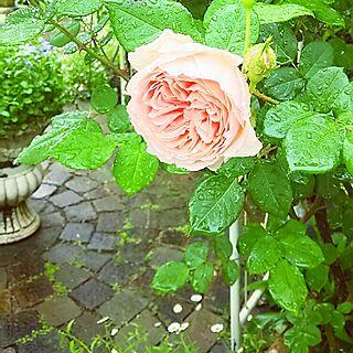 玄関/入り口/薔薇が好き/花のある暮らし/庭/レンガ...などのインテリア実例 - 2016-05-09 11:36:48