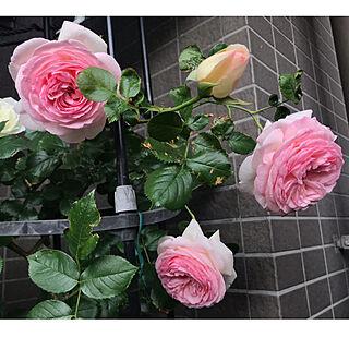 庭/ウッドデッキ/ベランダガーデン/バラが好き/お花のある暮らし...などのインテリア実例 - 2019-05-13 08:53:19