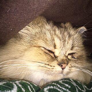 ベッド周り/ねこ/殺処分のない世界/ねこのいる日常/ペルシャ猫...などのインテリア実例 - 2016-12-17 07:54:10