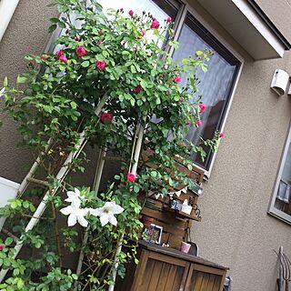 玄関/入り口/薔薇/アンジェラ/庭/ガーデニング...などのインテリア実例 - 2016-05-10 16:04:18