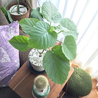 リビング/サボテン/観葉植物/観葉植物のある暮らし/一軒家...などのインテリア実例 - 2018-09-18 08:57:56