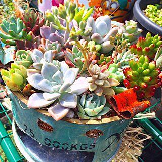 棚/癒しの空間/多肉植物寄せ植え/植物のある暮らし/多肉植物...などのインテリア実例 - 2017-04-18 15:18:01