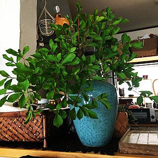 女性同棲3LDK、DIY 棚 植物に関するmimura-3さんの実例写真